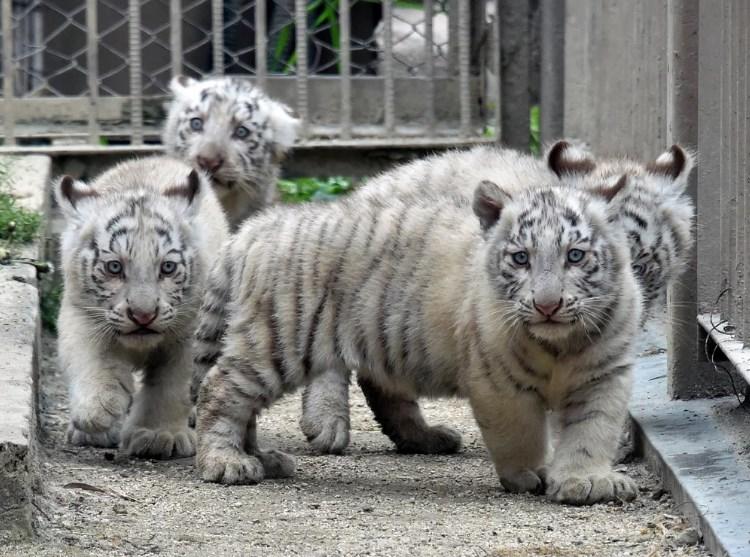 tigryata1