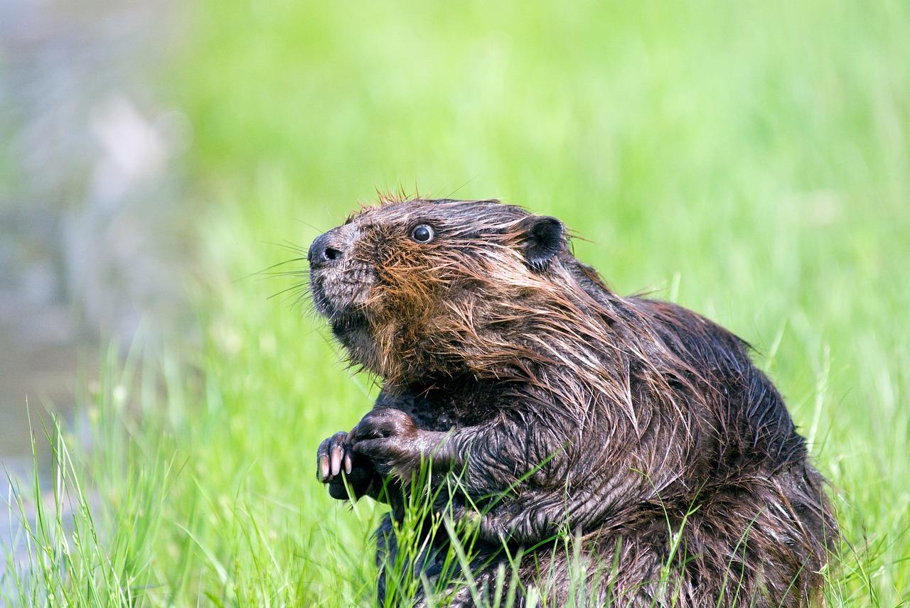 beaver-1448389_1280